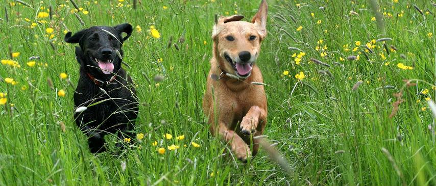 honden in gras